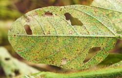 Estudo da Embrapa e Bayer irá mapear mecanismo de resistência de doenças da soja aos fungicidas