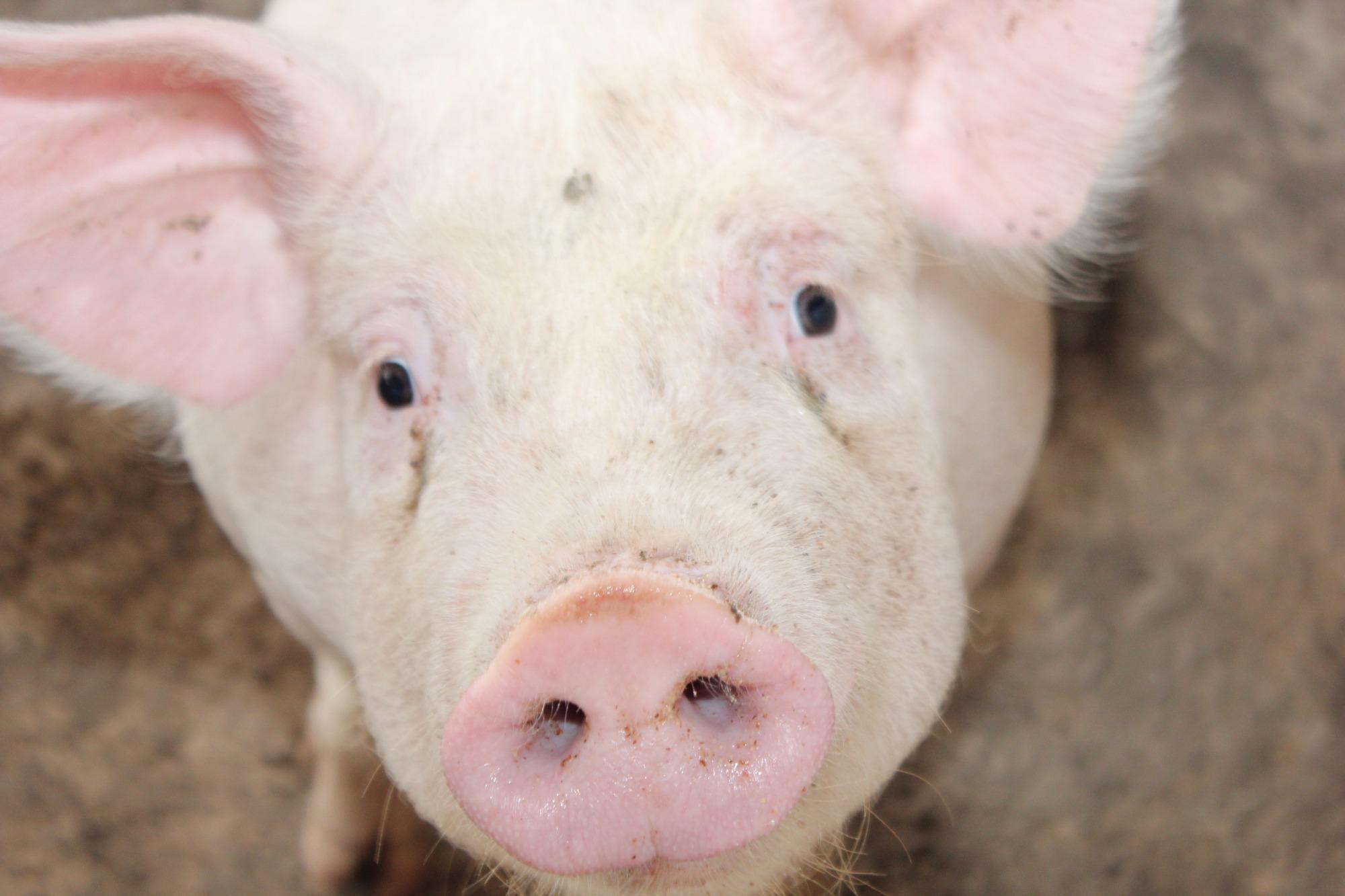 Mercado independente de SC e RS registram queda no valor de comercialização do suíno vivo