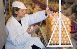 Produção de ovos de galinha é a maior desde 1987