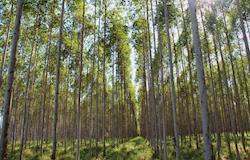Eucalipto é o futuro sustentável de Alagoas