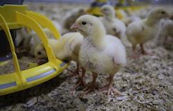 Eficiente, sistema de comedouro considera a conversão de ração e interação animal