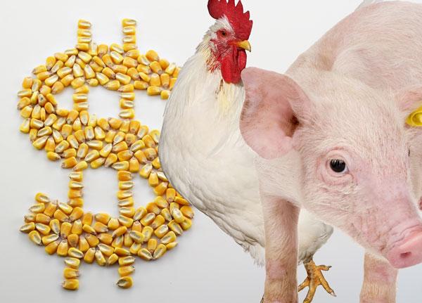 Custos de produção de frangos de corte e de suínos caem pelo terceiro mês consecutivo