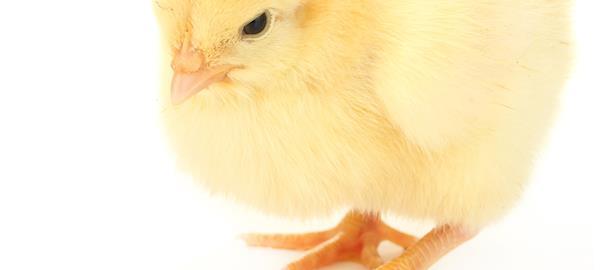 Benefícios do ácido butírico na nutrição de aves - por Cristiane Sanfelice