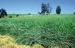 Uso de biomassa de plantas forrageiras para gerar energia é estudado