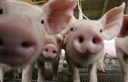Produção integrada de suínos garante qualidade ao consumidor