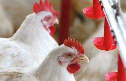 Produção de carne de frango cresce e investimentos no setor registram alta