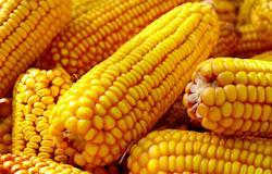 Queda nas exportações brasileiras de milho