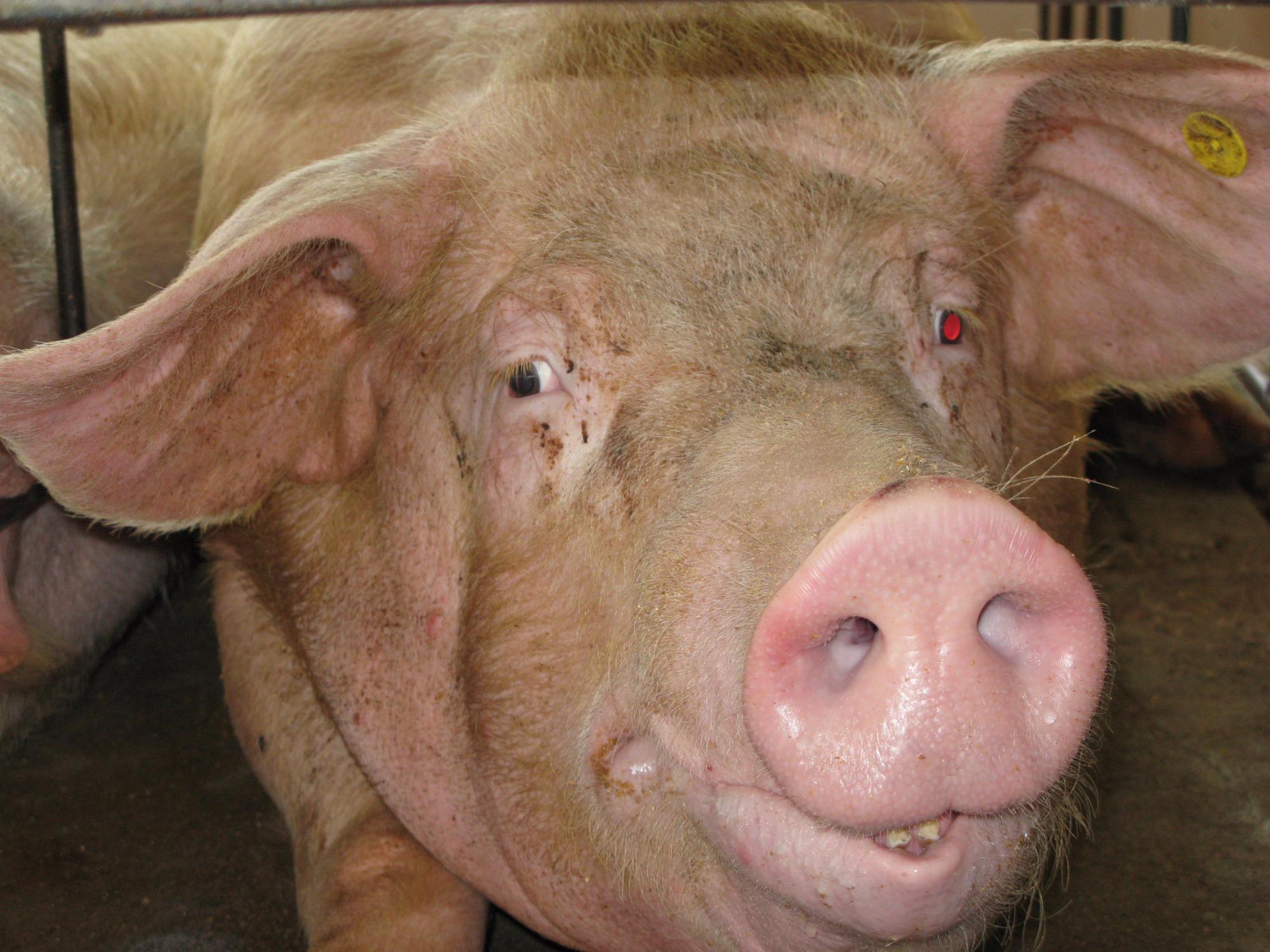 Exportações de carne suína aumentam 30% em 2016