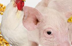 Abuso de antibióticos em animais ameaça milhões de pessoas