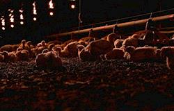 """Avicultores apostam em """"granja dark"""" para aumentar produtividade"""