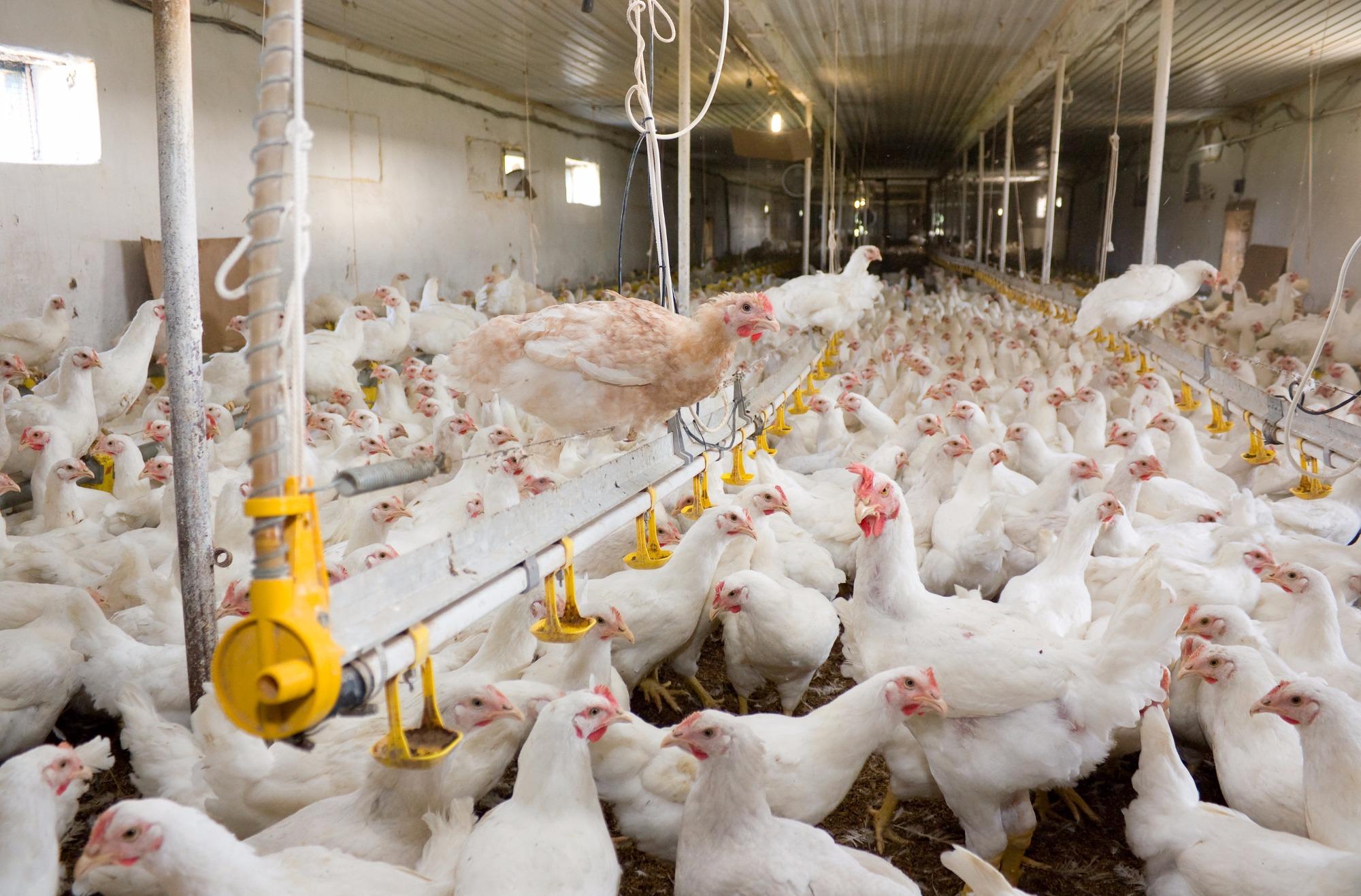 Preços do frango caíram na granja e no atacado
