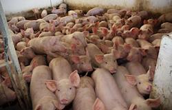 Importância do manejo pré-abate dos suínos sobre o bem-estar e a qualidade da carne