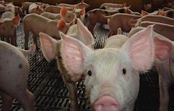 Queimadores de pellets com maior combustão garantem aquecimento mais econômico nas granjas