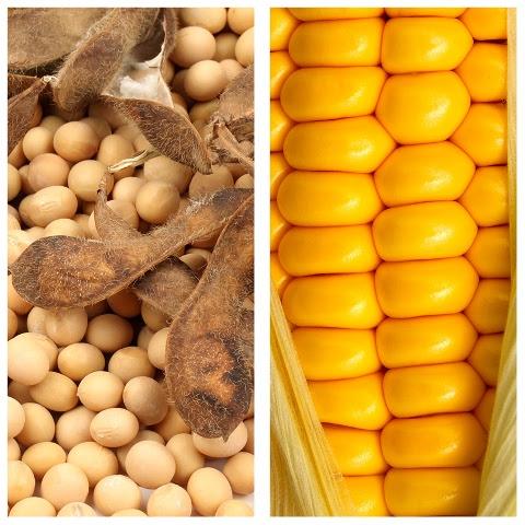 Enquanto preços da soja seguem estáveis, no Brasil possibilidade de safa recorde de milho pressiona valores