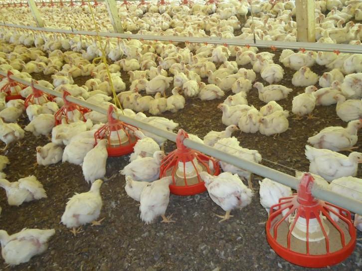 6.800 granjas de aves comerciais são monitoradas pela Cidasc