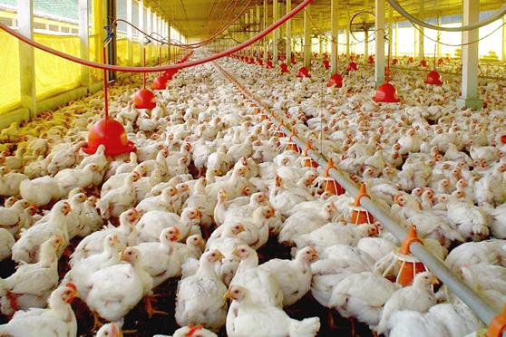 Custos de produção do frango caí em abril, aponta Cias