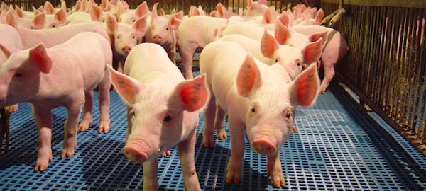 Experiência da Dinamarca na restrição ao uso de antibióticos é tema de palestra da DSM na AveSui