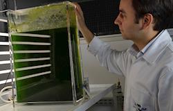 Pesquisa encontra microalgas que crescem em resíduos e geram biocombustíveis e ração animal