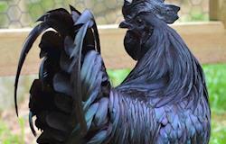 """""""Galinhas góticas"""" da Indonésia são raridade por pigmentação preta"""