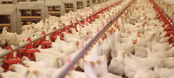 Implantar novas tecnologias em granjas auxilia na viabilidade econômica da produção