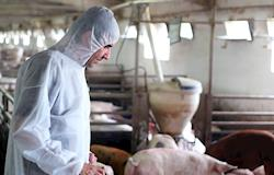 DSA quer erradicarpeste suína clássica e ampliar da zona livre da doençano Brasil