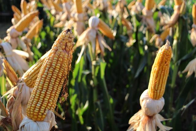 Aprosoja divulga balanço sobre desenvolvimento do milho 2ª safra