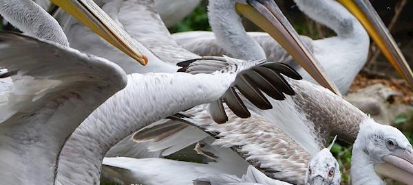 Zoológico de Viena sacrifica 20 pelicanos-crespos por surto de gripe aviária